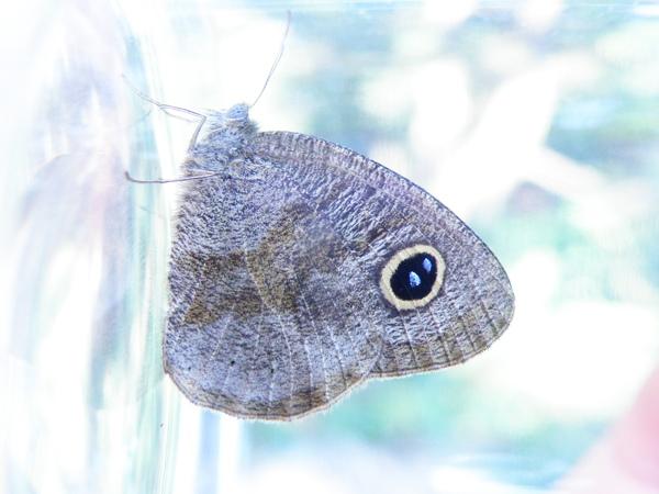 13小波紋蛇目蝶~冬溫型 (3)