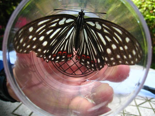 17紅星班蛺蝶
