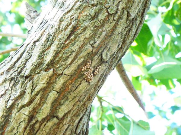 05烏桕樹上椿象卵 (2)
