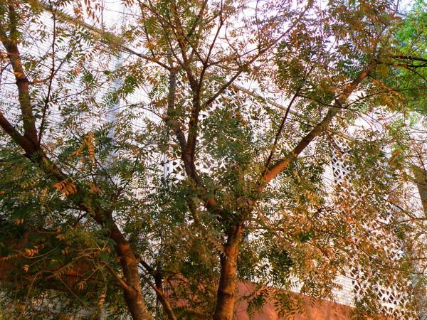 17-03黃連木~紅葉~揉和了牆壁.JPG