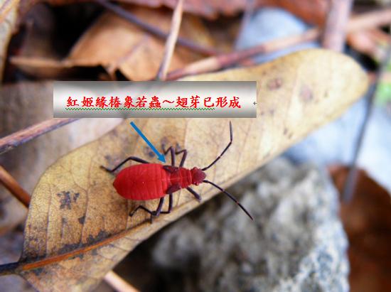 04-03紅姬緣椿象若蟲.bmp