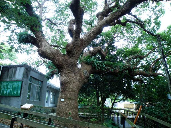 16-01有300歲老樟樹.JPG