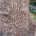 16-02有300歲老樟樹.JPG