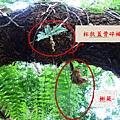 16-12槲蕨和杯狀蓋骨碎補.bmp