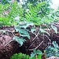16-03老樟樹上著生植物.JPG