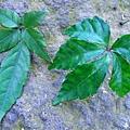 15-05台灣崖爬藤和烏斂莓.JPG