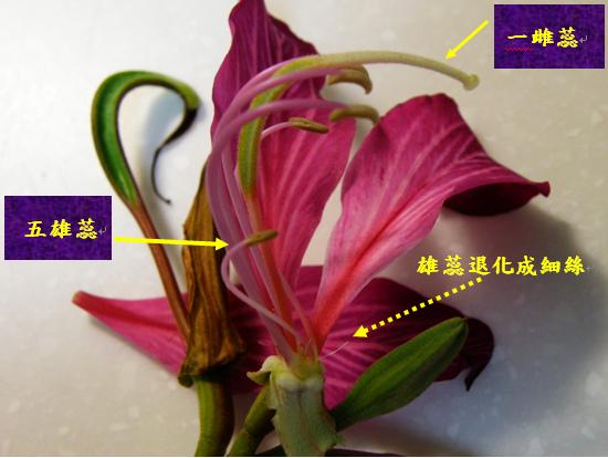 04-03艷紫荊.bmp