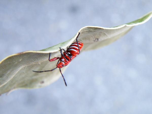 05-02原銳紅星椿象若蟲.JPG