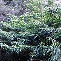 22-01昆欄樹.JPG