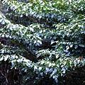 22-02昆欄樹.JPG