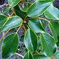 22-03昆欄樹.JPG