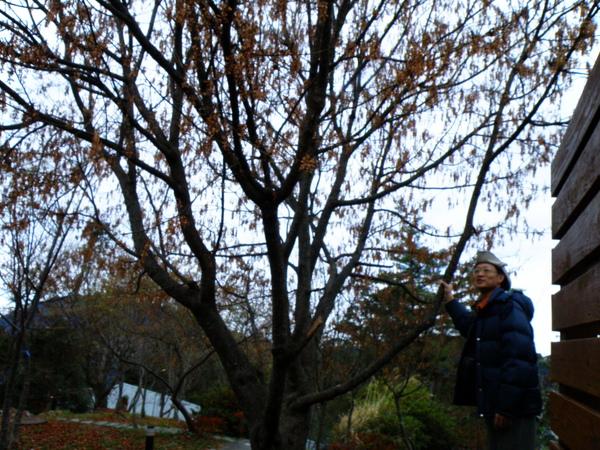 24-04尖葉槭.JPG
