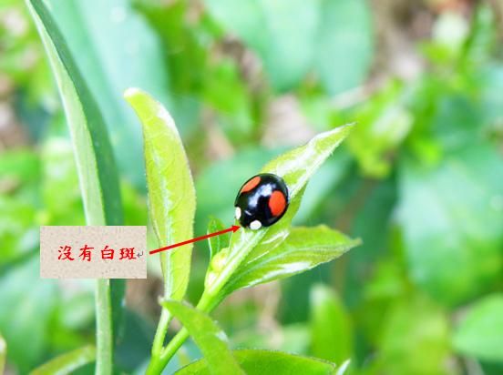 01-02雌赤星瓢蟲.bmp