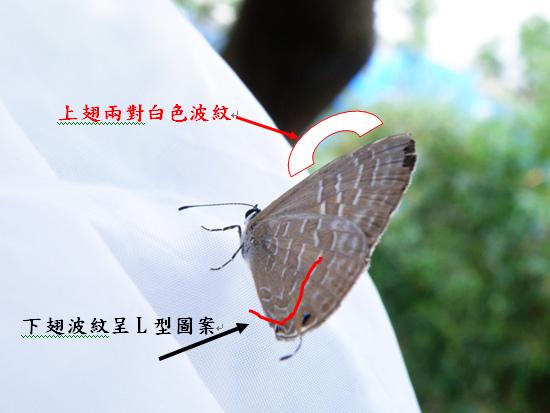 13-03白波紋小灰蝶.bmp