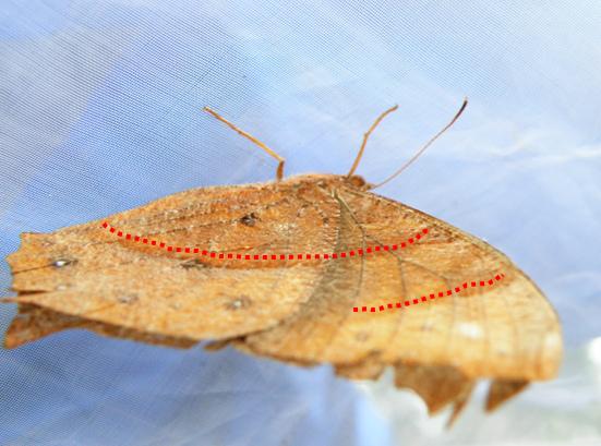 08-03黑樹蔭蝶低溫型.bmp