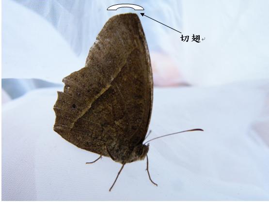 12-03切翅單環蝶.bmp