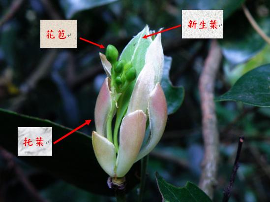 紅楠芽苞.bmp