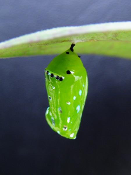 15-01琉球青斑蝶蛹.JPG