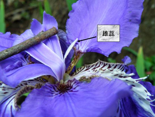 12-05鳶尾雄蕊.bmp