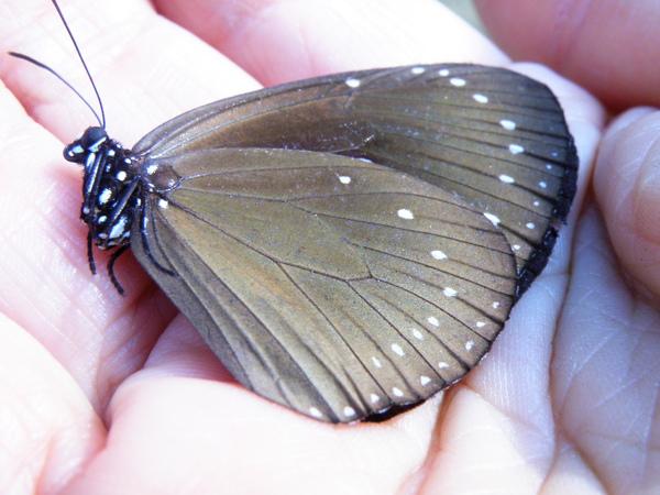 02-01小紫斑蝶.JPG