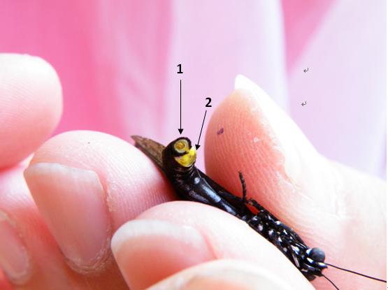 02-03小紫斑蝶.bmp