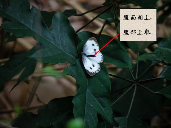 12-03台灣紋白蝶.bmp