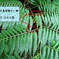 35-04金狗毛蕨.bmp