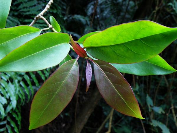 05-01長葉厚殼樹.JPG