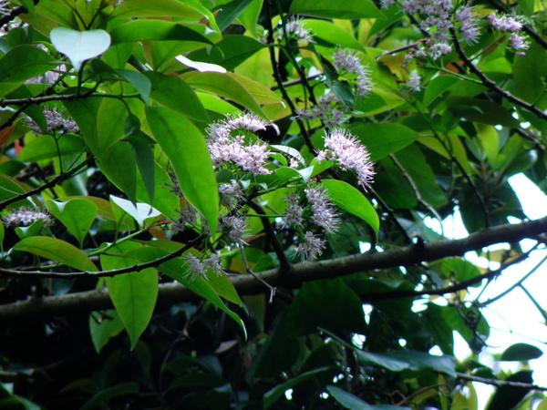 05-03長葉厚殼樹.JPG