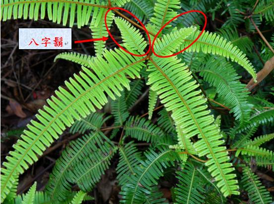 08-06蔓芒萁.bmp