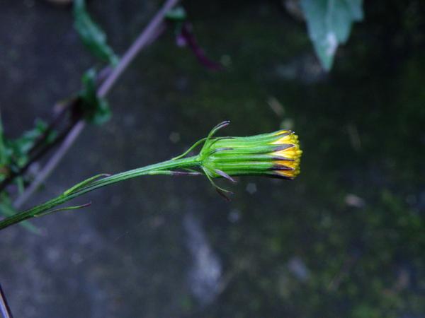 13-03紅菜紅黃花.JPG