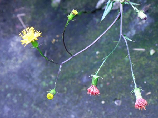 13-01紅菜紅黃花.JPG