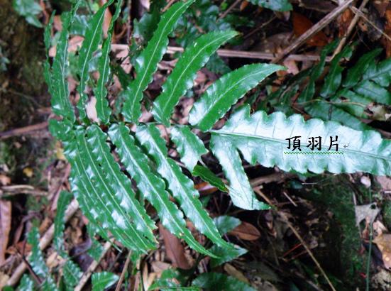 26-03海南實蕨 .bmp