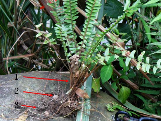 12-03腎蕨三莖.bmp