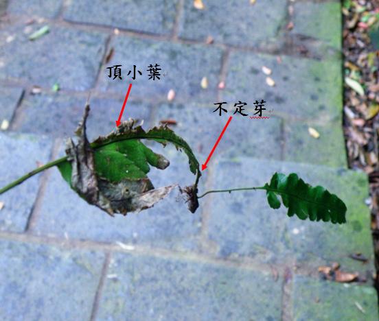 26-04海南實蕨不定芽.bmp