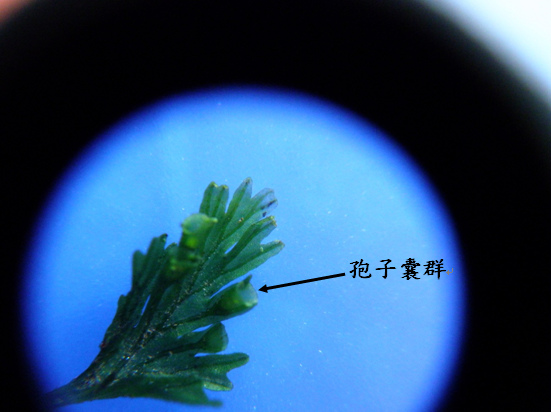 25-03孢子囊群.bmp