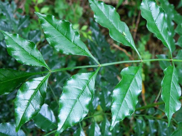 09-03光臘樹.JPG