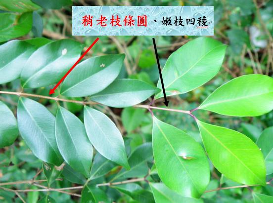 11-03台灣赤楠.bmp