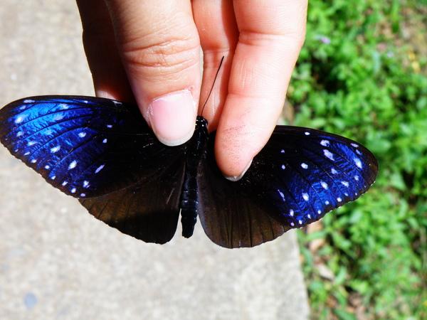 23-01端紫斑蝶.JPG