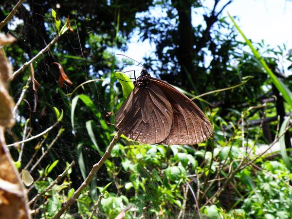24-01圓翅紫斑蝶.JPG