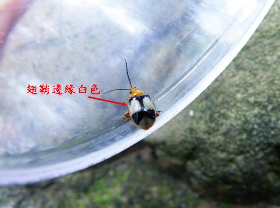 20-04白緣溝腳葉蚤.bmp
