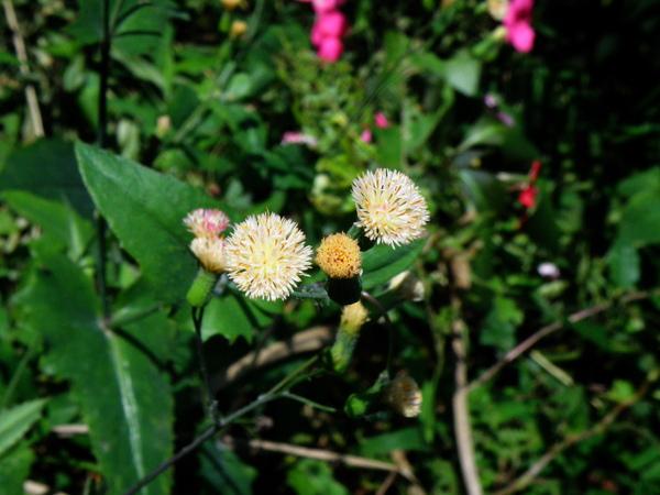14-03纓絨花.JPG