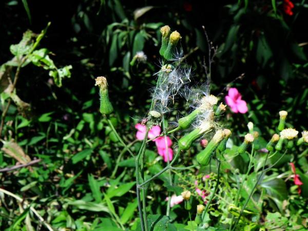 14-04纓絨花.JPG