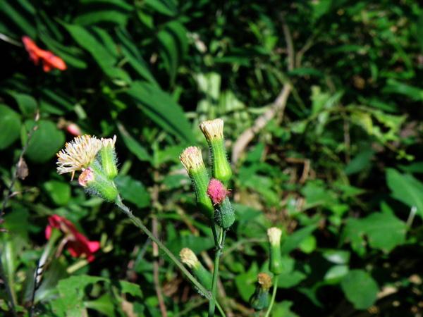14-06纓絨花.JPG