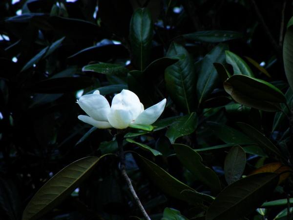 04-01洋玉蘭.JPG