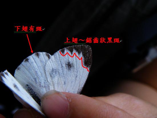 14-03台灣紋白蝶特徵.bmp