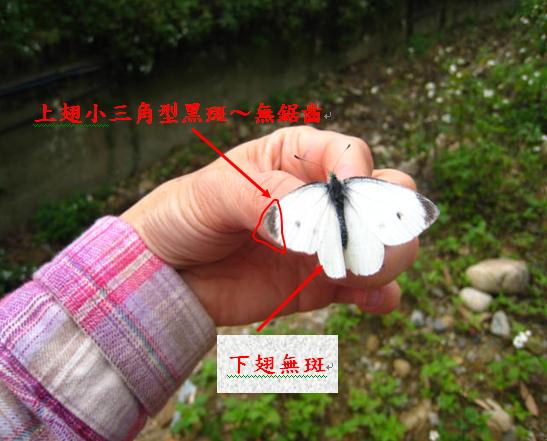 14-04紋白蝶特徵.bmp