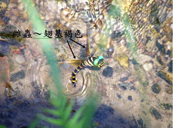 08-07雌無霸勾蜓.bmp