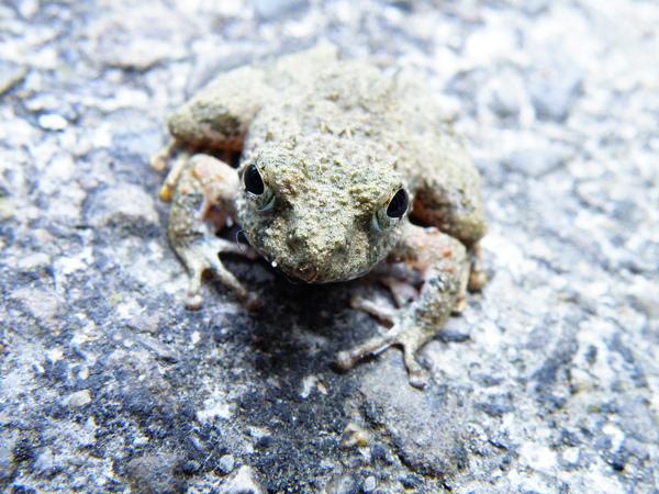 18-02面天樹蛙.JPG