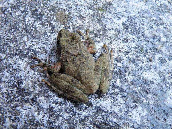 18-01面天樹蛙.JPG